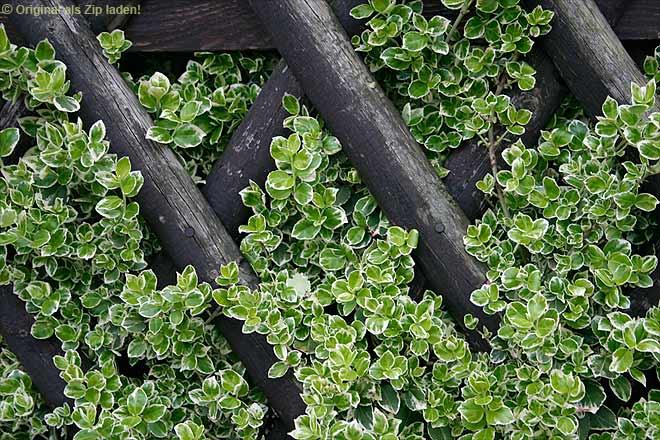 zaun aus pflanzen garten zaun praktische und sthetische anwendung sch ne sichtschutz pflanzen. Black Bedroom Furniture Sets. Home Design Ideas