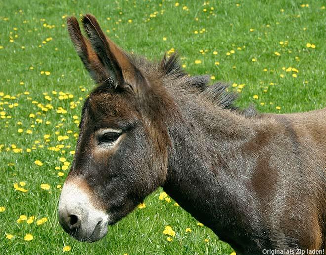 Esel - Portraitfoto
