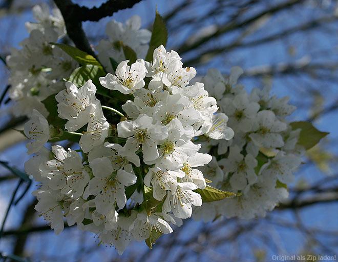 Kirschblüte in voller Pracht