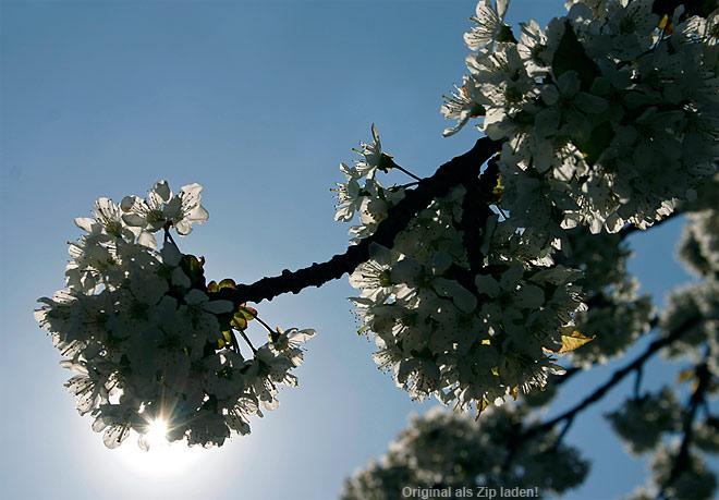 Kirschblüten im Morgenlicht